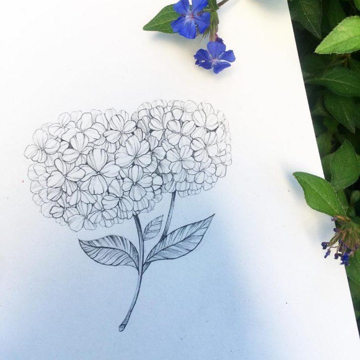 Hydrangea sketch by Alena Makhalovski